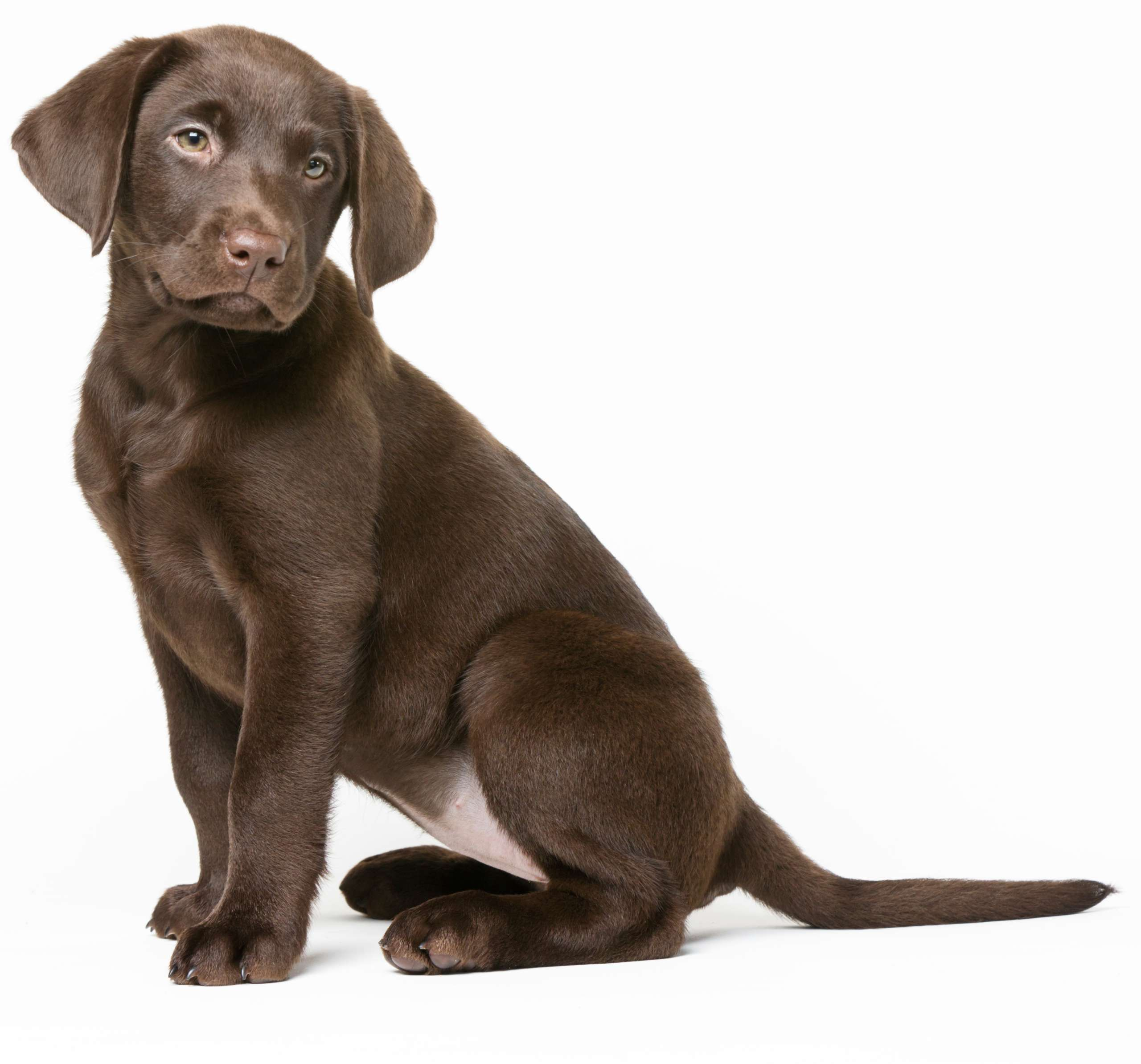 An image of a chocolate lab puppy dog