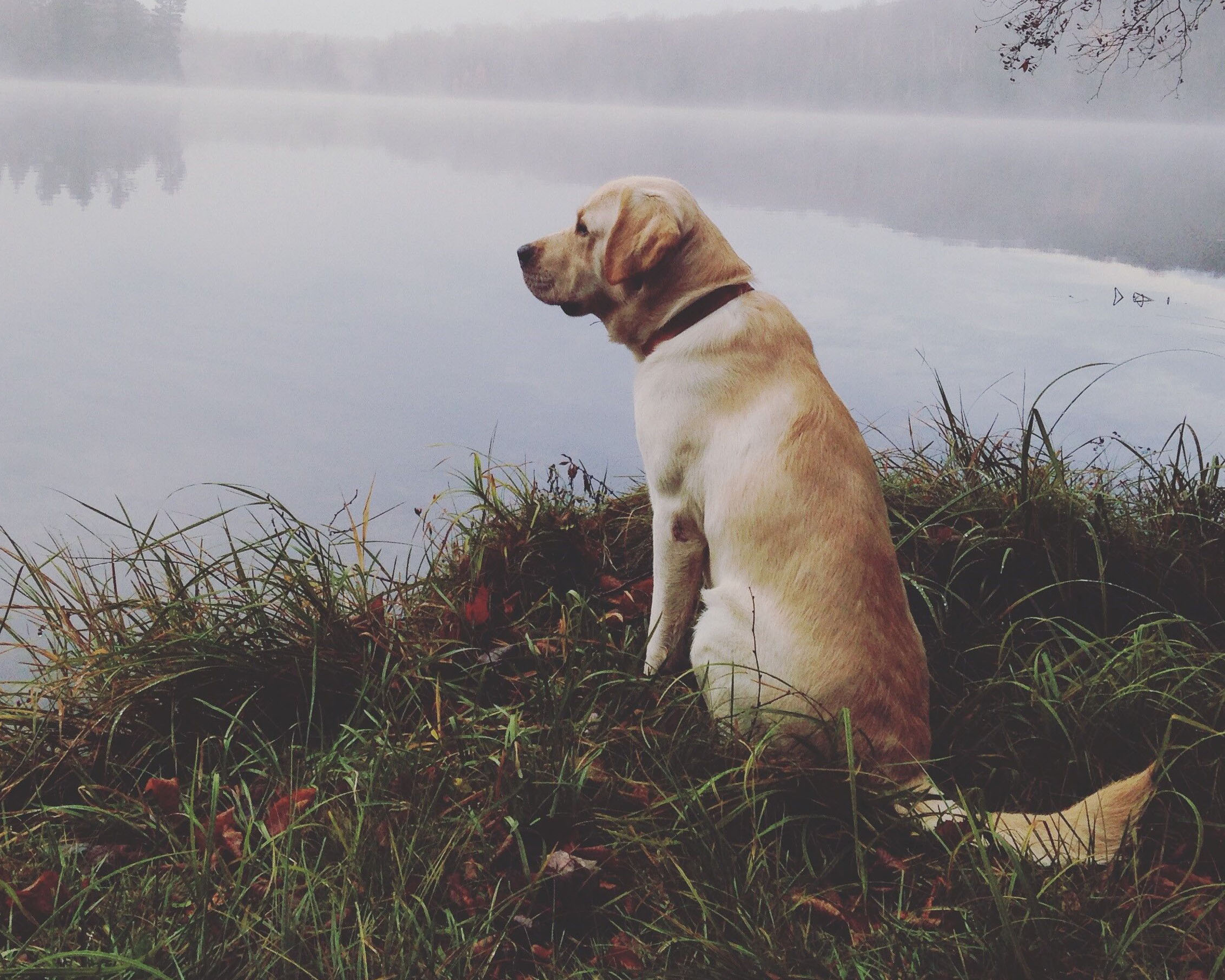 An image of a golden lab sitting on a grass bank over looking a lake