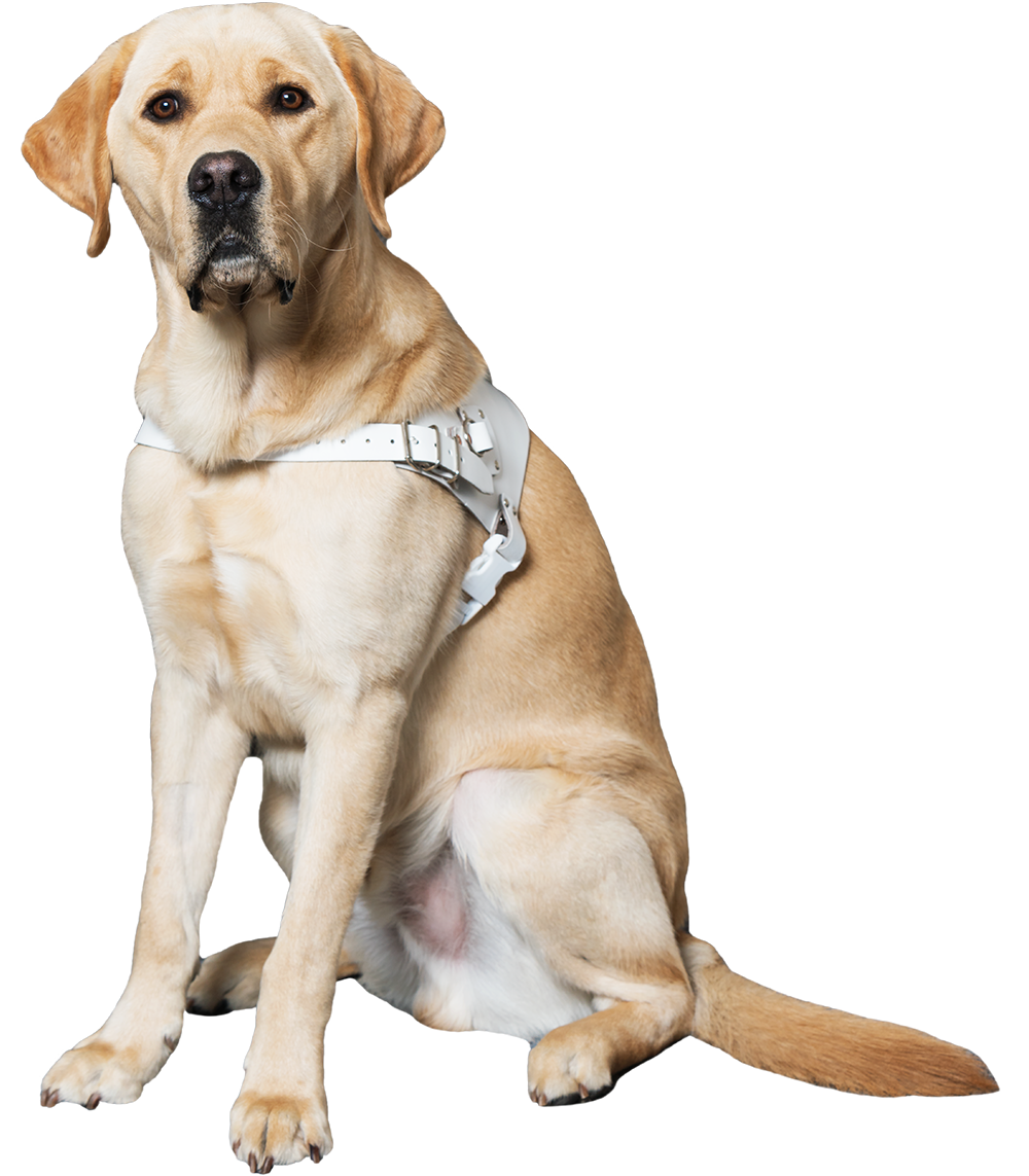 An image of a yellow lab sitting with a white Guide Dog harness