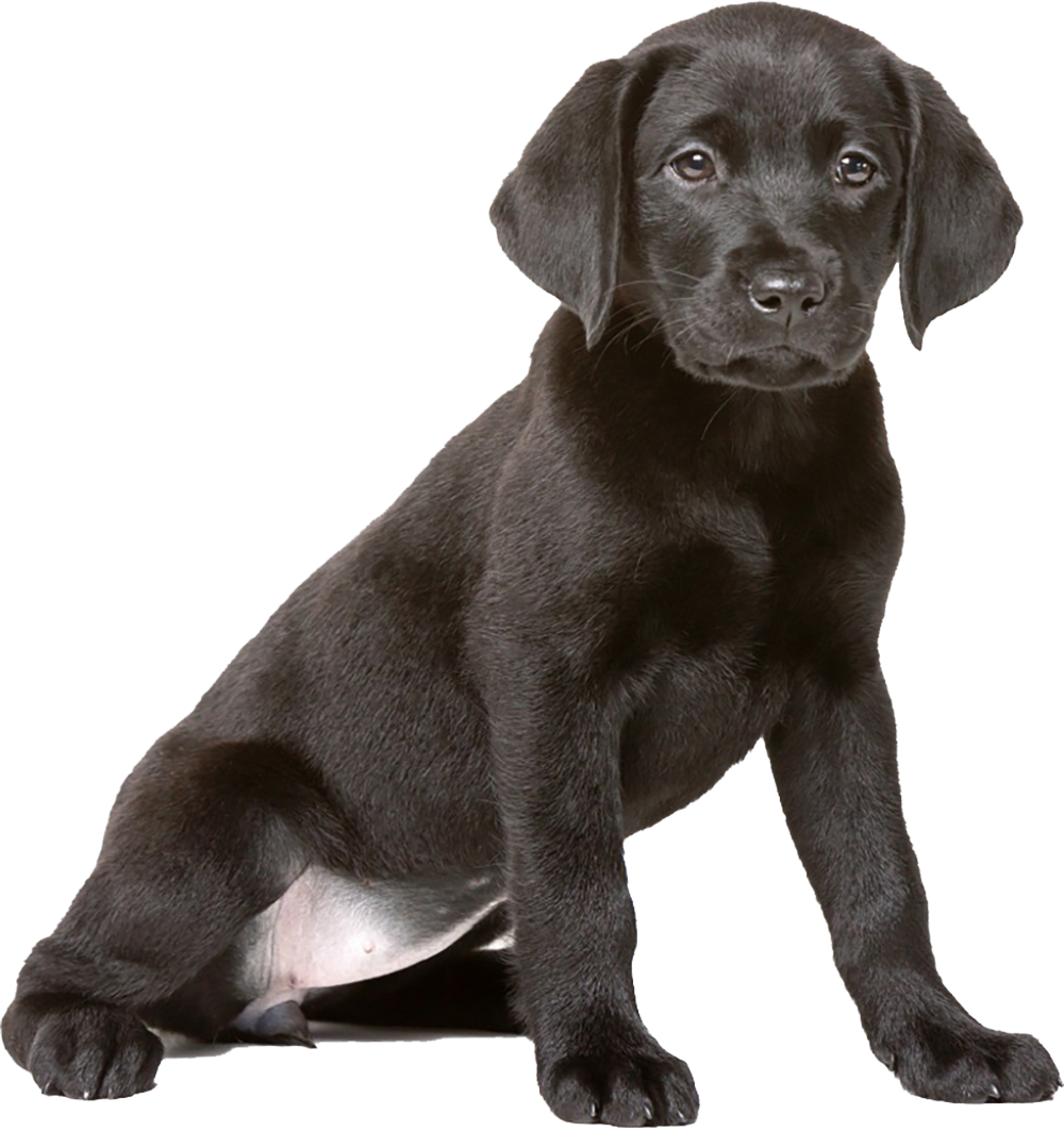 An image of a black labrador puppy