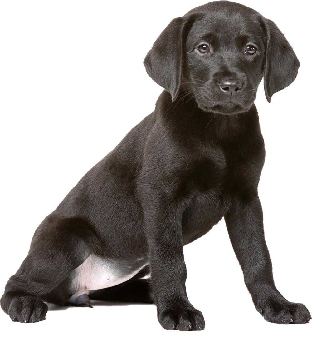An image of a black labrador puppy
