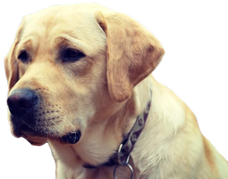 An image of a yellow guide dogs face looking to the left across the page