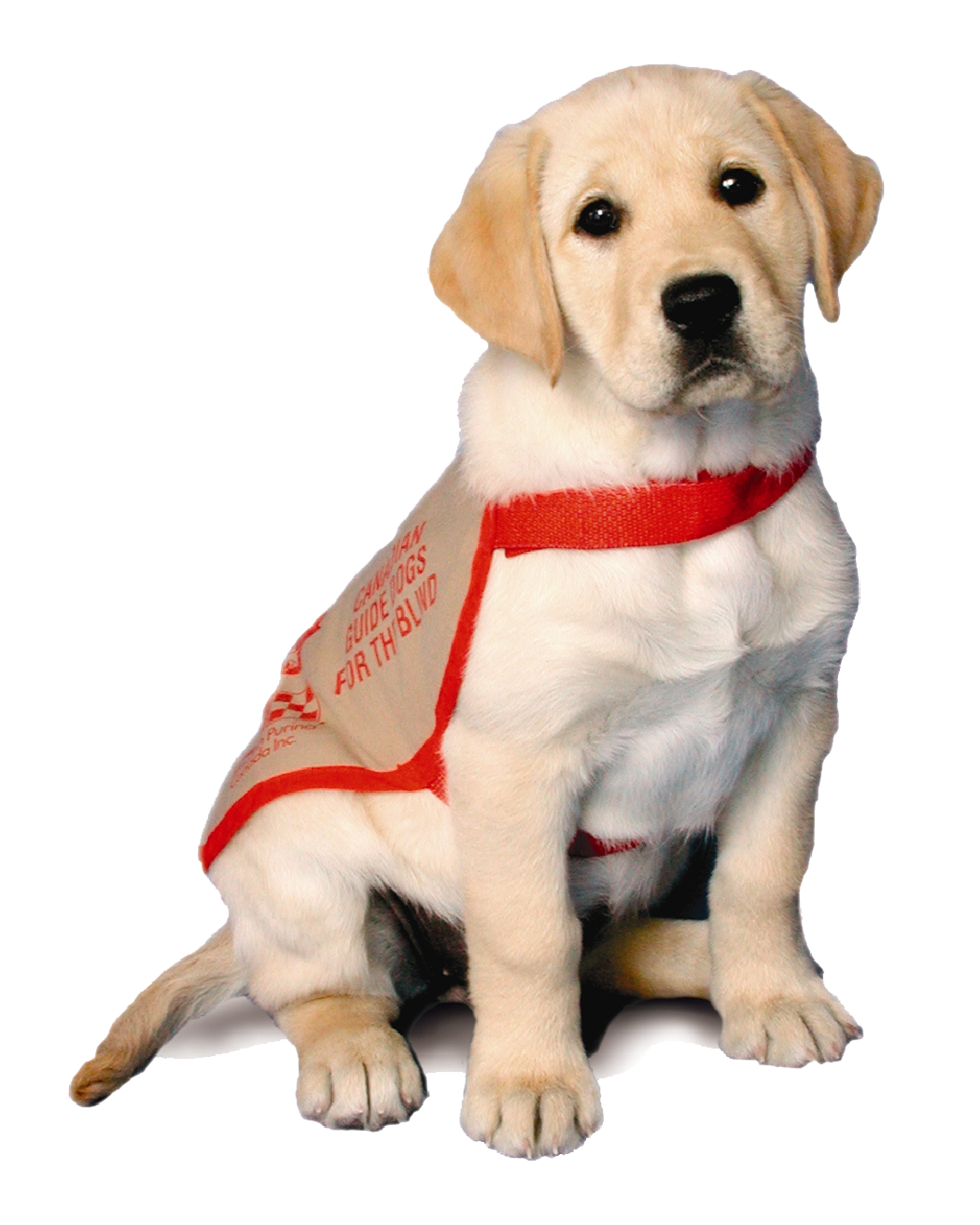 An image of a yellow labrador puppy wearing a red guide dog training jacket