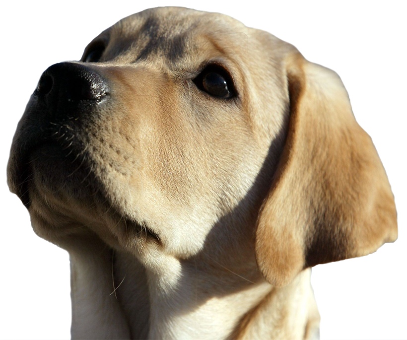 An image of a yellow lab puppys face looking up to the left