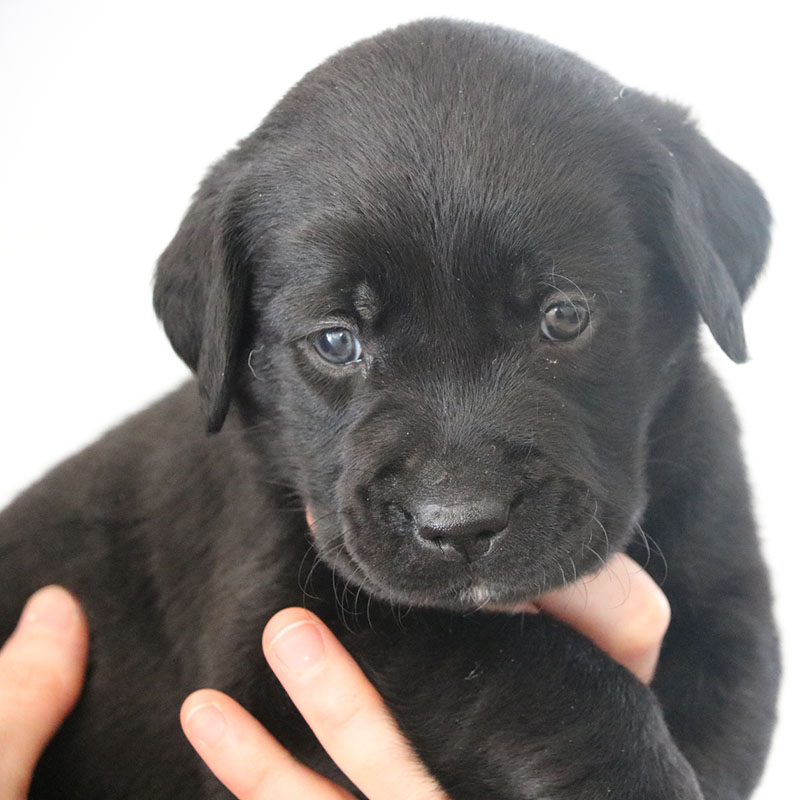 An image of a black lab puppy being held in hands