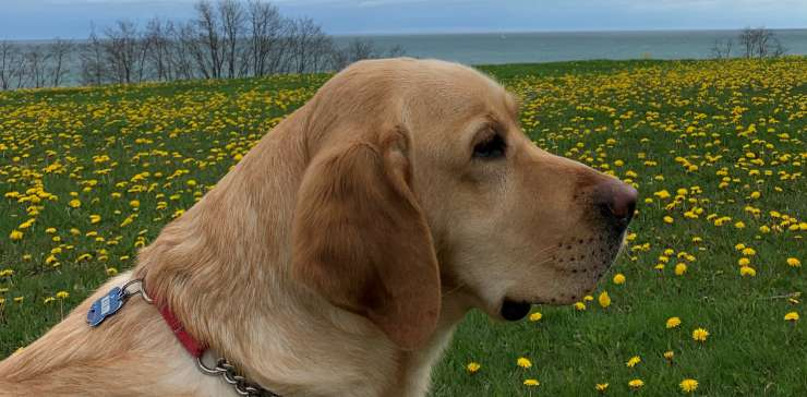 Guide Dog in Training Grows up