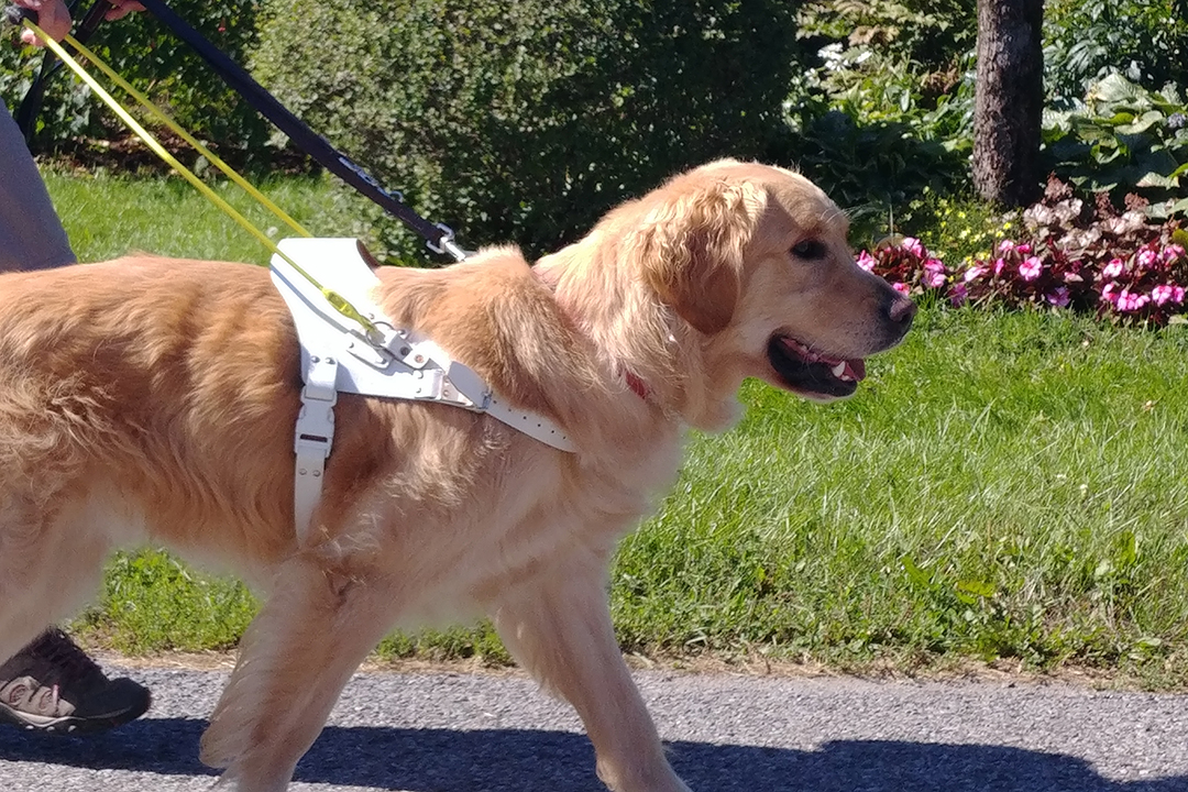 An image of a yellow lab wearing a white harness and yellow handle, leading a person