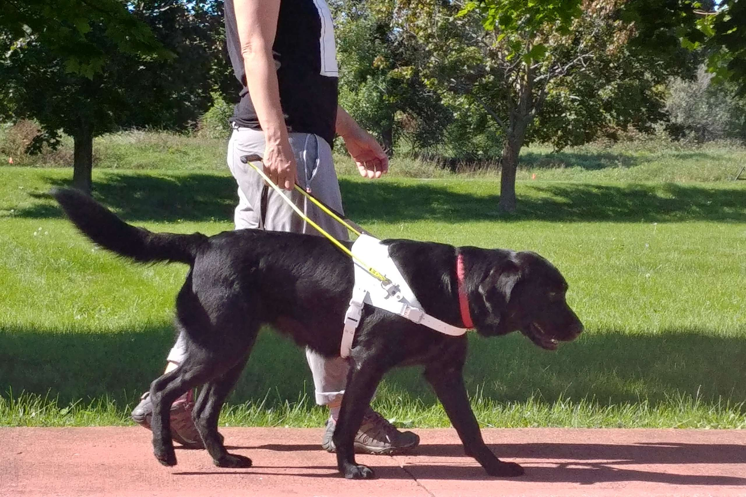 An image of a black lab wearing a white harness and yellow handle walking with a person