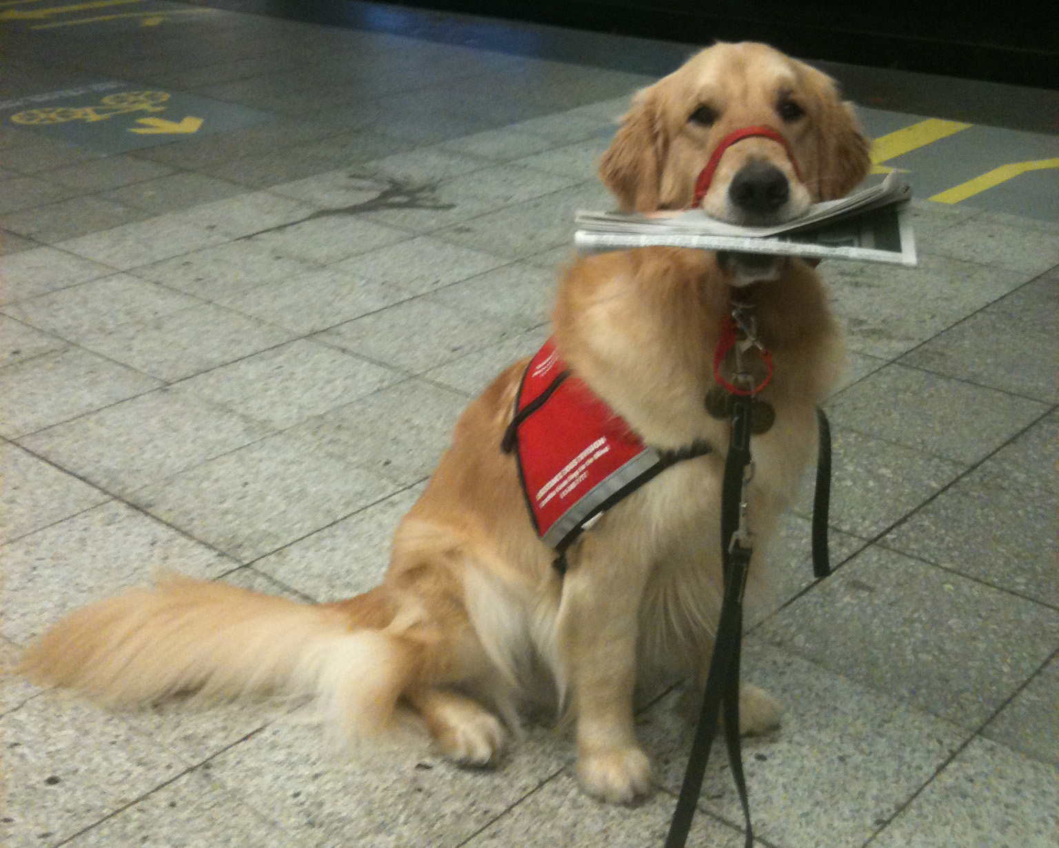 A golden retriever assistance dog wearing a red harness holding a newspaper in its mouth.