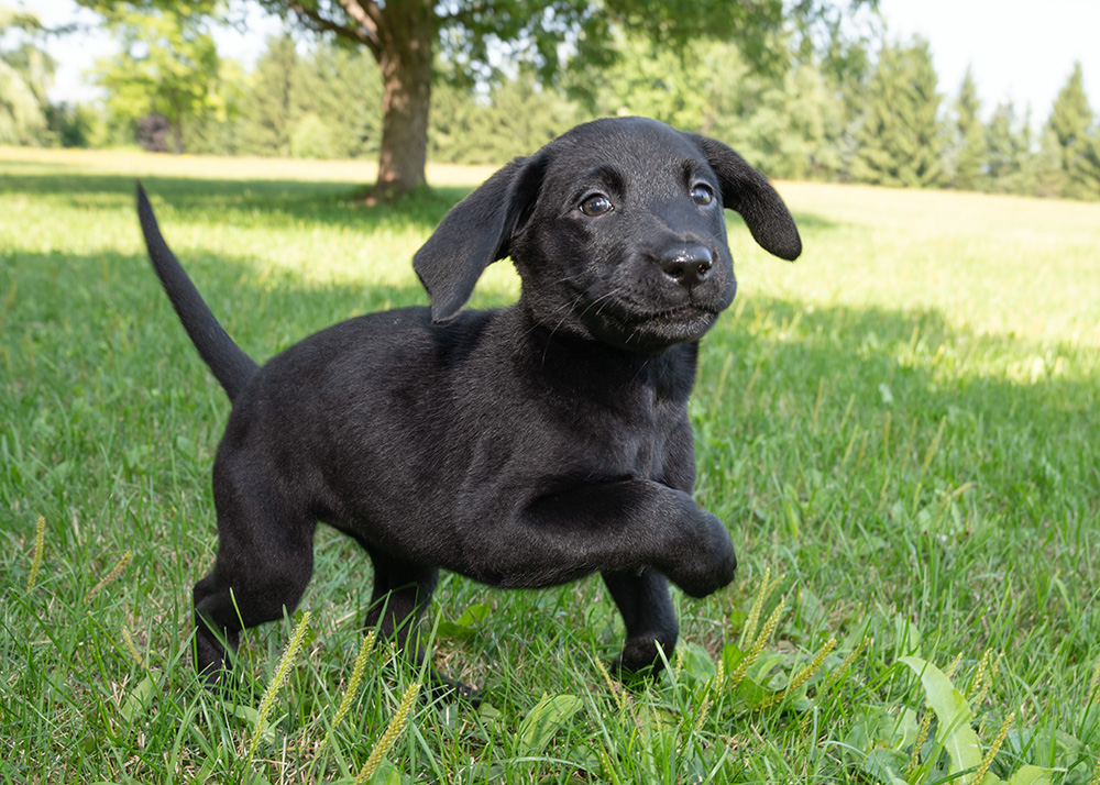 An image of a black Labrador puppy prancing around in the grass