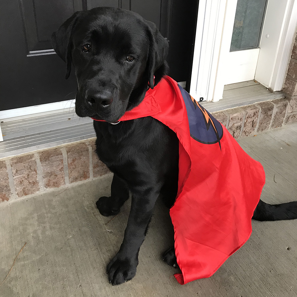 An image of a black Labrador puppy wearing a super hero cape