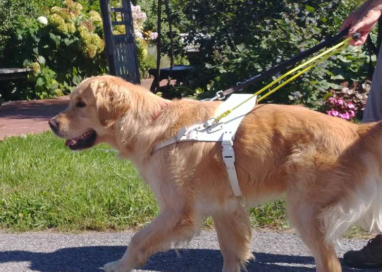 An image of a golden retriever guide dog wearing a white harness and yellow handle.