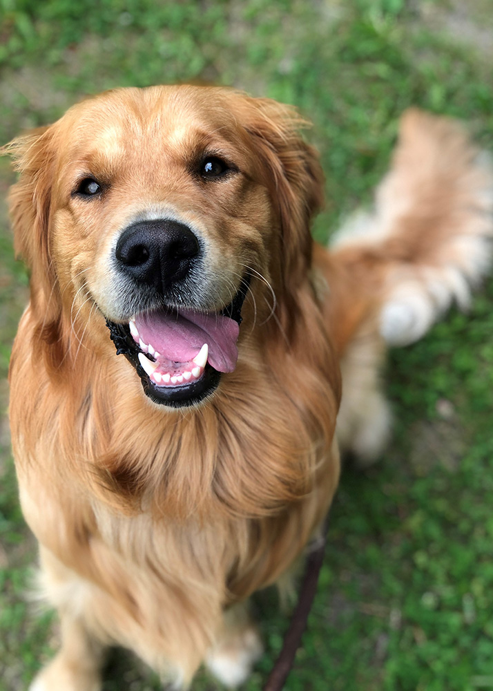 A golden retriever staring at the camera smiling with its tongue out