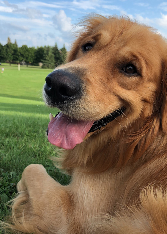 A golden retriever looking over its left shoulder with a golf course in the background