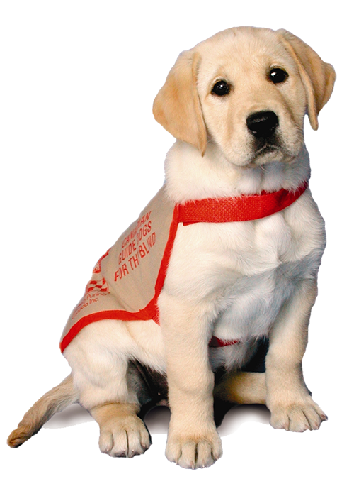 An image of a transparent yellow Labrador guide dog puppy wearing a red guide jacket