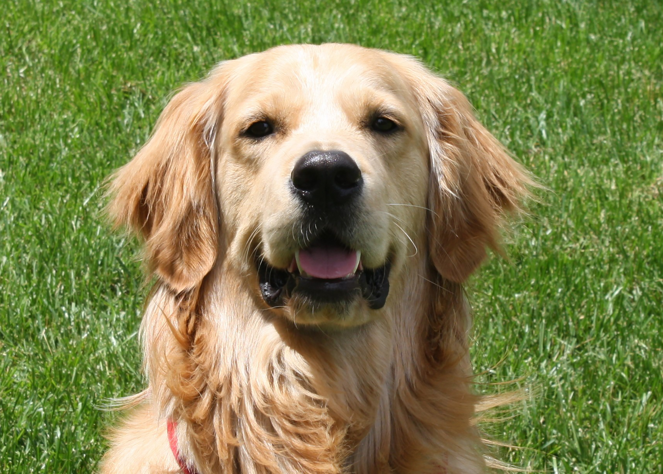 An image of a golden retriever smiling at the camera