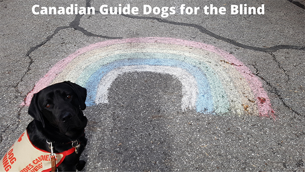 An image of a black Labrador guide dog sitting beside a a chalk made rainbow