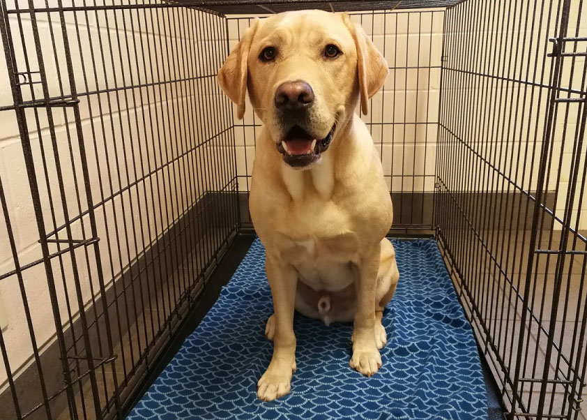 An image of a yellow Labrador sitting inside a dog crate staring at the camera